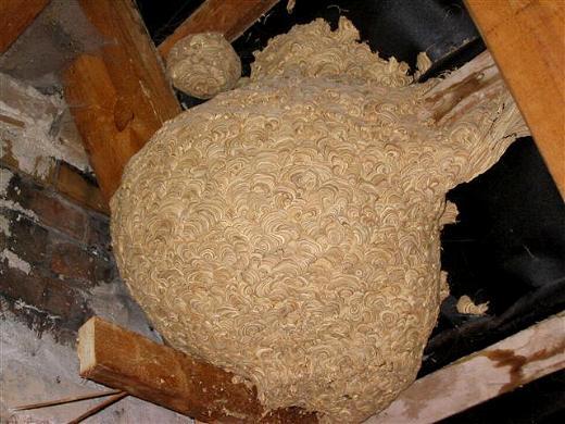nestbilder von deutscher wespe und hornisse. Black Bedroom Furniture Sets. Home Design Ideas