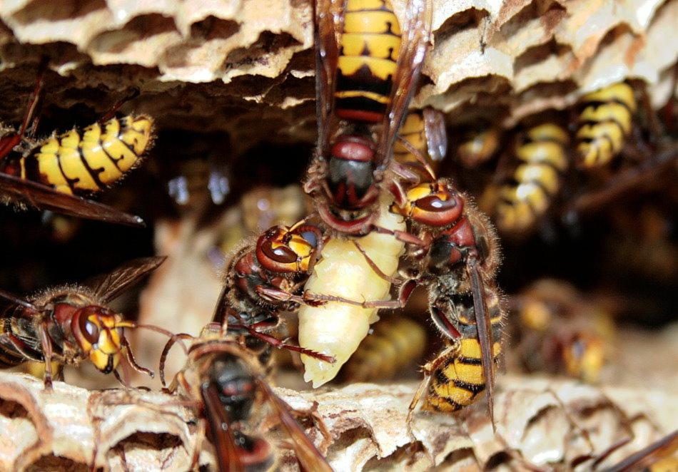 wie lange bleiben wespen im nest