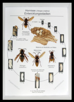 bienen eier dauer der schluepfung wespe